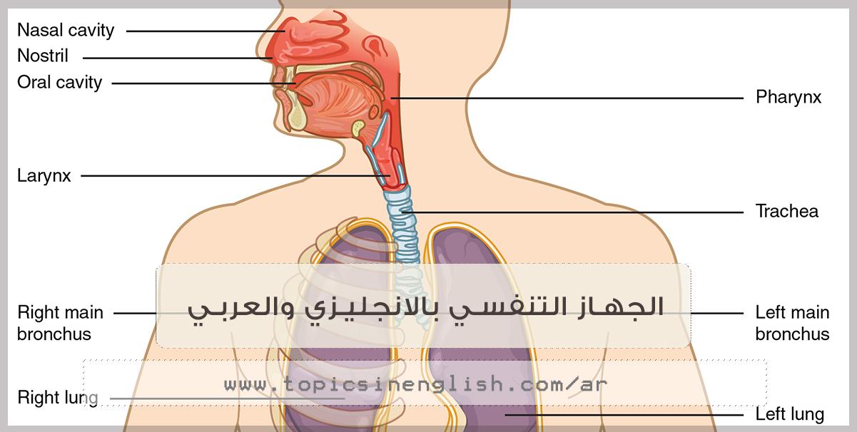 الجهاز التنفسي بالانجليزي والعربي مواضيع باللغة الانجليزية